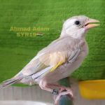 Ahmad Adam Profile Picture